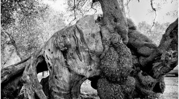 Photographer Barbara Luisi brings the mystique of Puglia's olive trees to New York